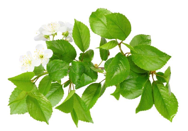 Ramificación del árbol de ciruelo con la hoja y las flores blancas imagen de archivo libre de regalías
