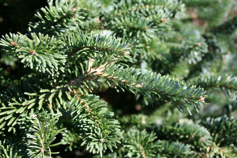 Ramificación del árbol de navidad fotos de archivo libres de regalías
