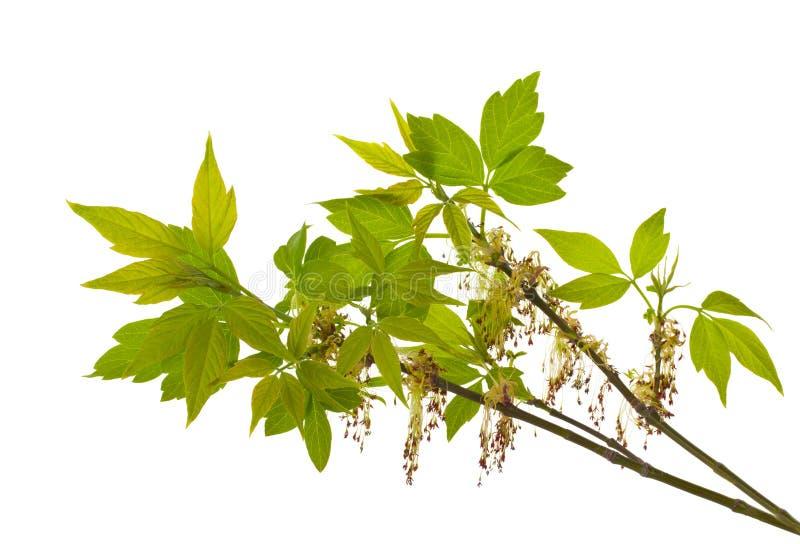 Ramificación del arce ceniza-con hojas floreciente foto de archivo