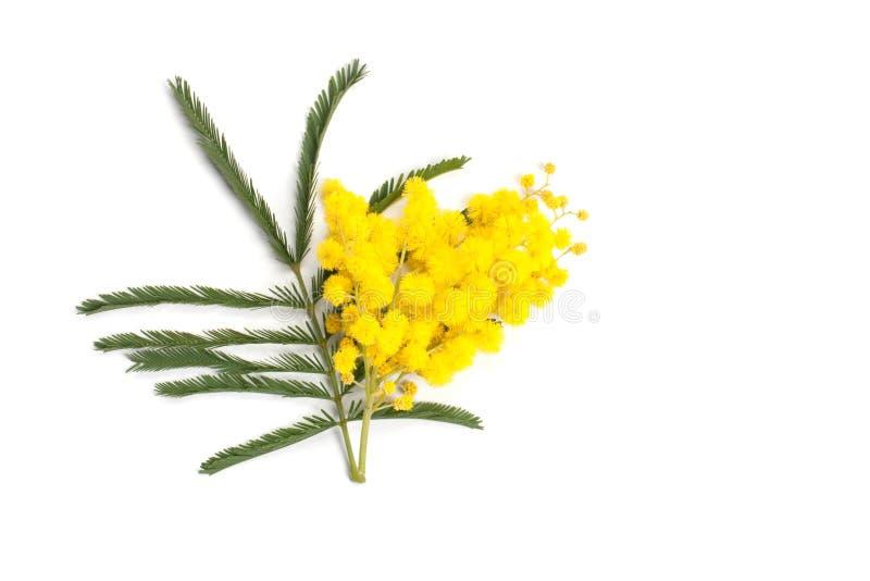 Ramificación del Mimosa foto de archivo libre de regalías