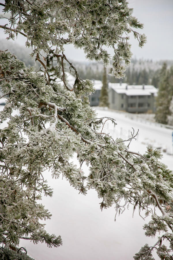 Ramificación del pino bajo nieve fotos de archivo libres de regalías