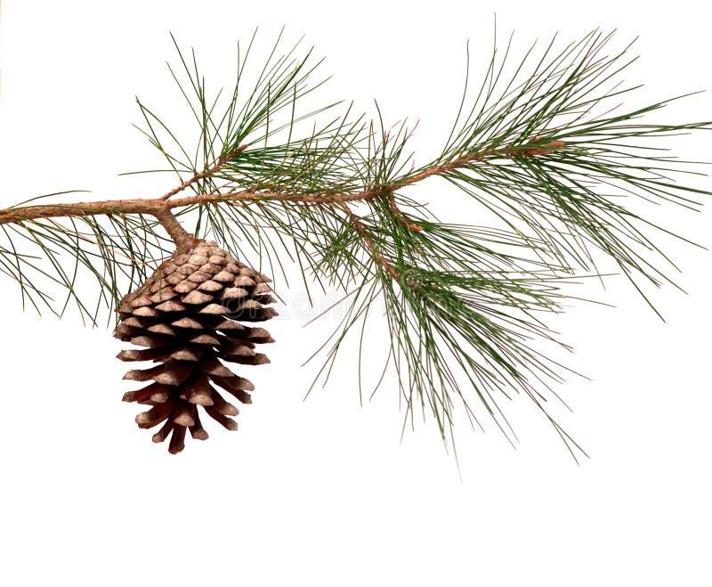Ramificación del pino con el cono imágenes de archivo libres de regalías