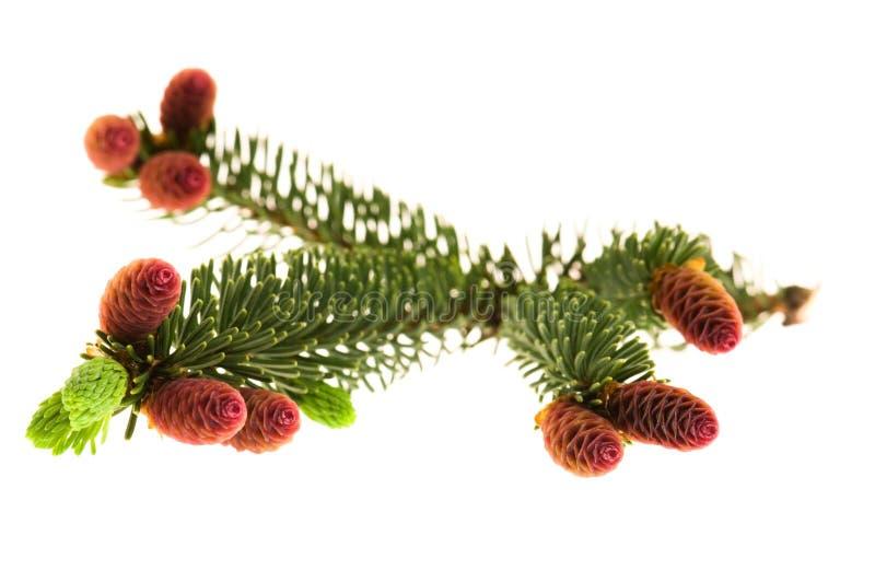 Ramificación del pino con los conos en un fondo blanco fotografía de archivo libre de regalías