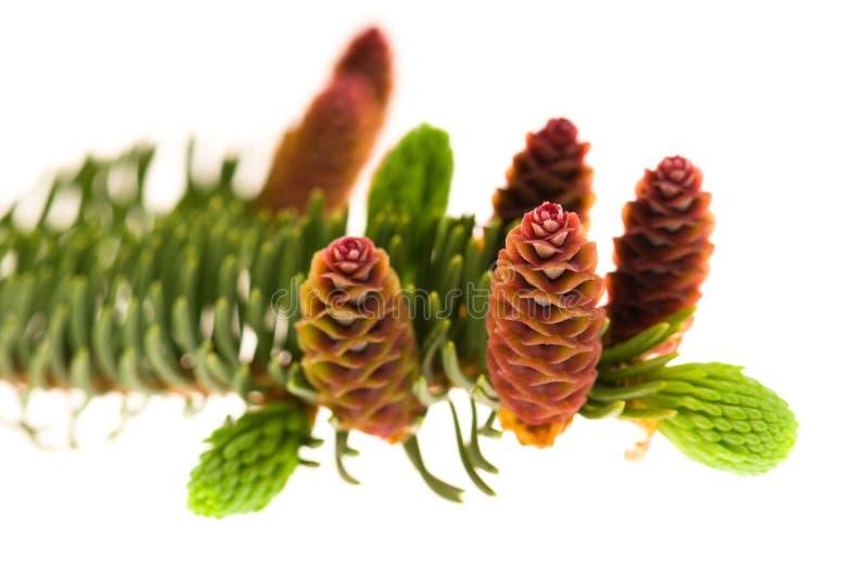 Ramificación del pino con los conos en un fondo blanco fotos de archivo libres de regalías