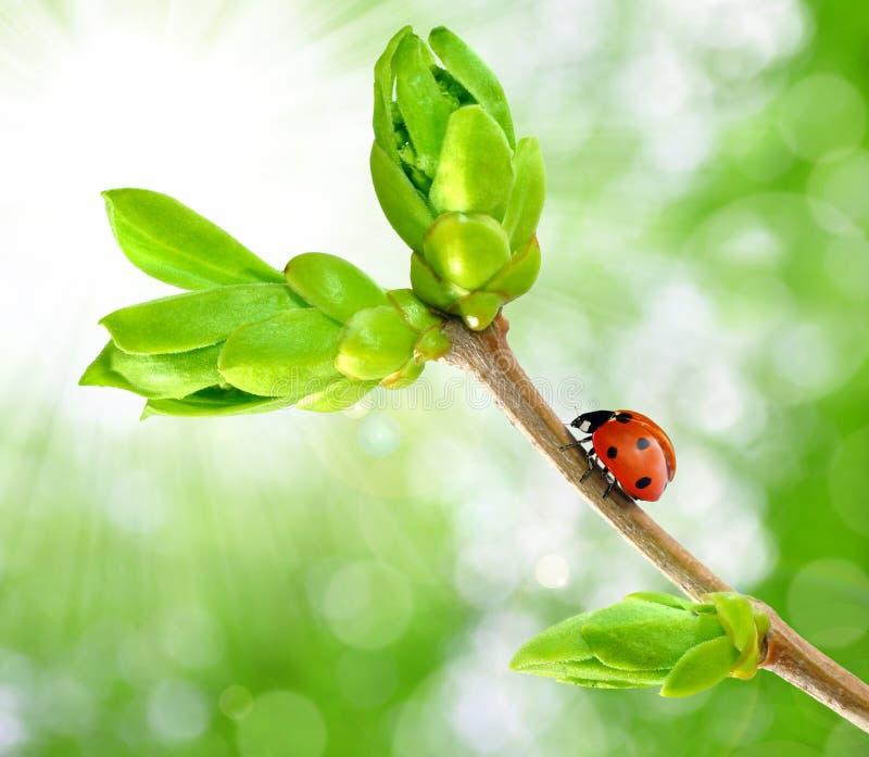 Ramificación del resorte con el ladybug fotografía de archivo