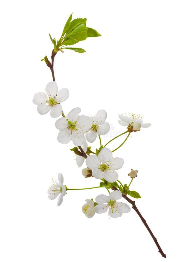 Ramificación floreciente de la cereza fotografía de archivo