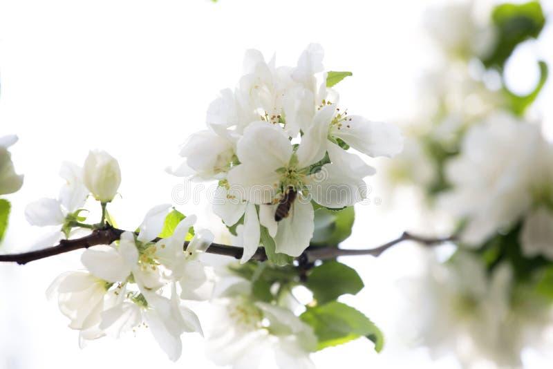Ramificación Floreciente Del árbol Imágenes de archivo libres de regalías