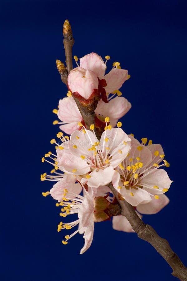 Ramificación floreciente del albaricoque foto de archivo