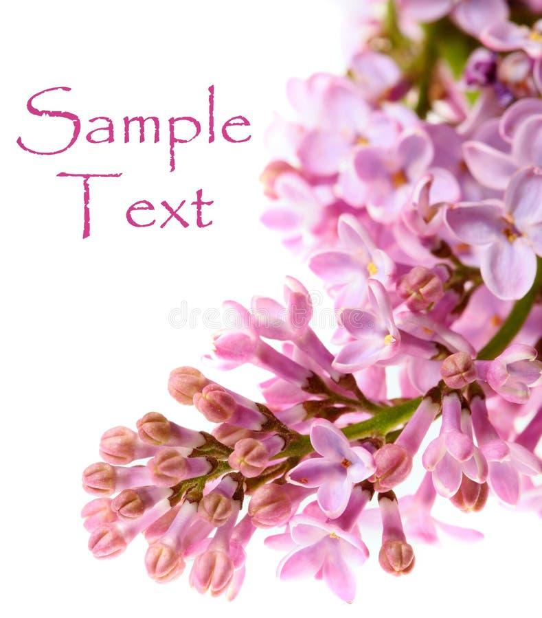 Ramificación fresca de la lila imágenes de archivo libres de regalías