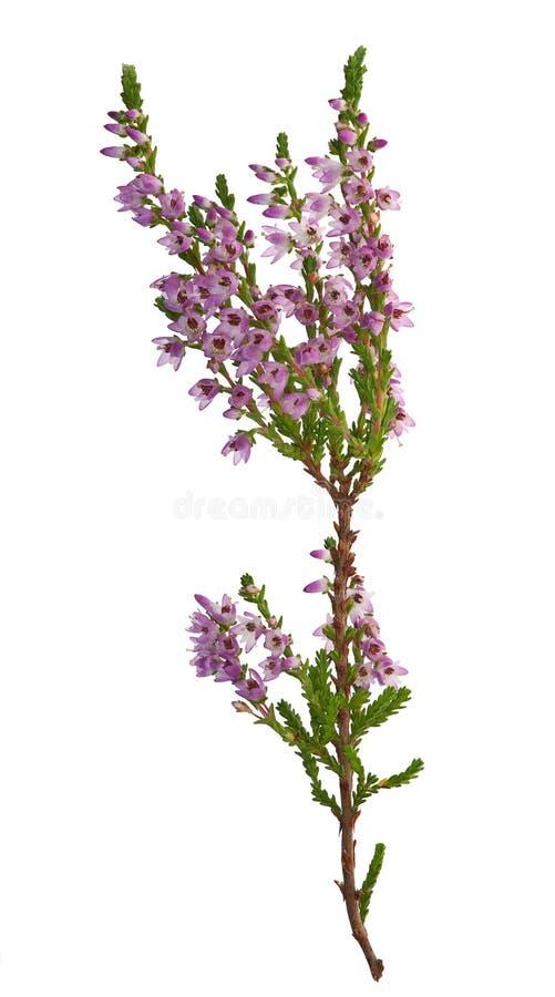 Ramificación púrpura y verde del brezo imagenes de archivo