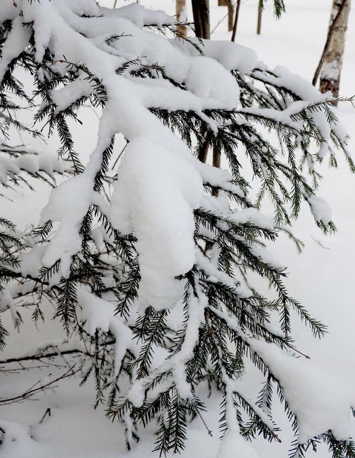 Ramificación Spruce en invierno foto de archivo
