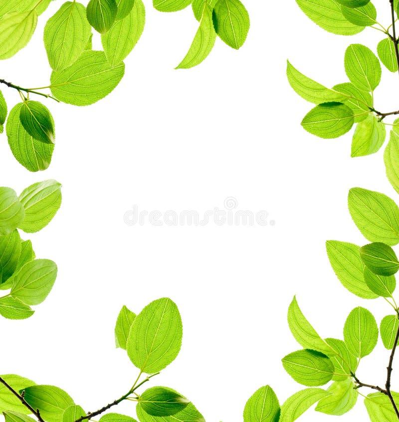 Ramificación verde aislada fotografía de archivo
