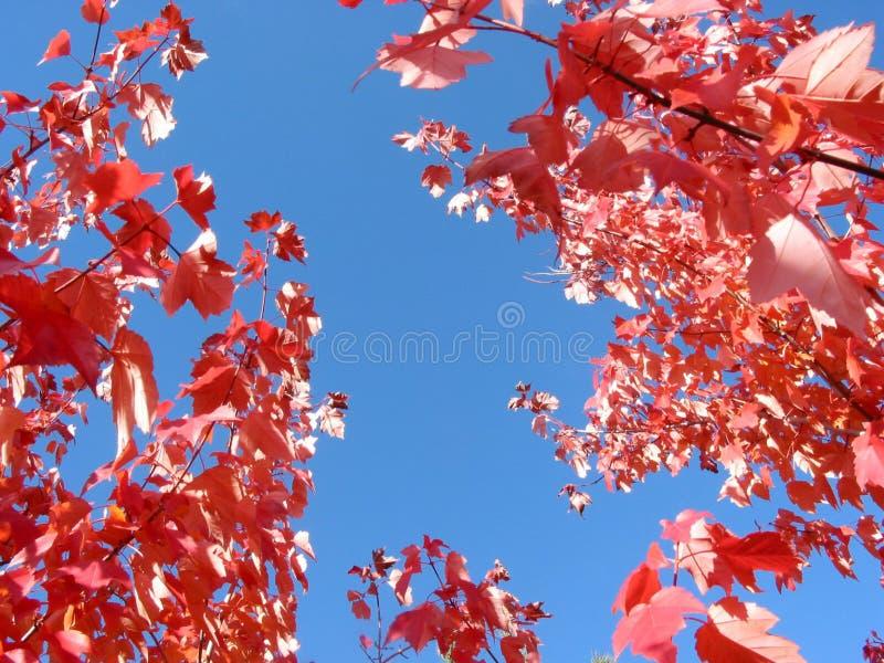 Ramificaciones azules brillantes del cielo y de árbol del otoño fotografía de archivo libre de regalías
