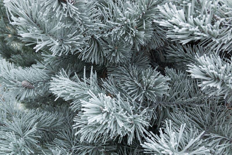 Ramificaciones de árbol de pino cubiertas con nieve fotografía de archivo