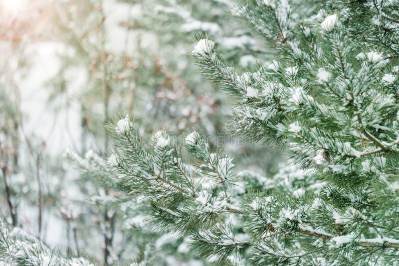 Ramificaciones de árbol de pino cubiertas con nieve Rama de árbol congelada en fondo hermoso de la estación del invierno del bosq foto de archivo libre de regalías