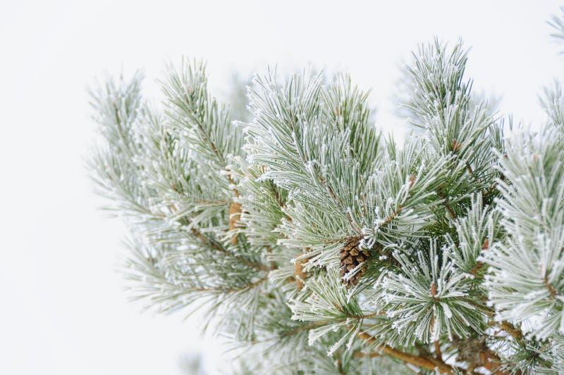 Ramificaciones del árbol de navidad imágenes de archivo libres de regalías