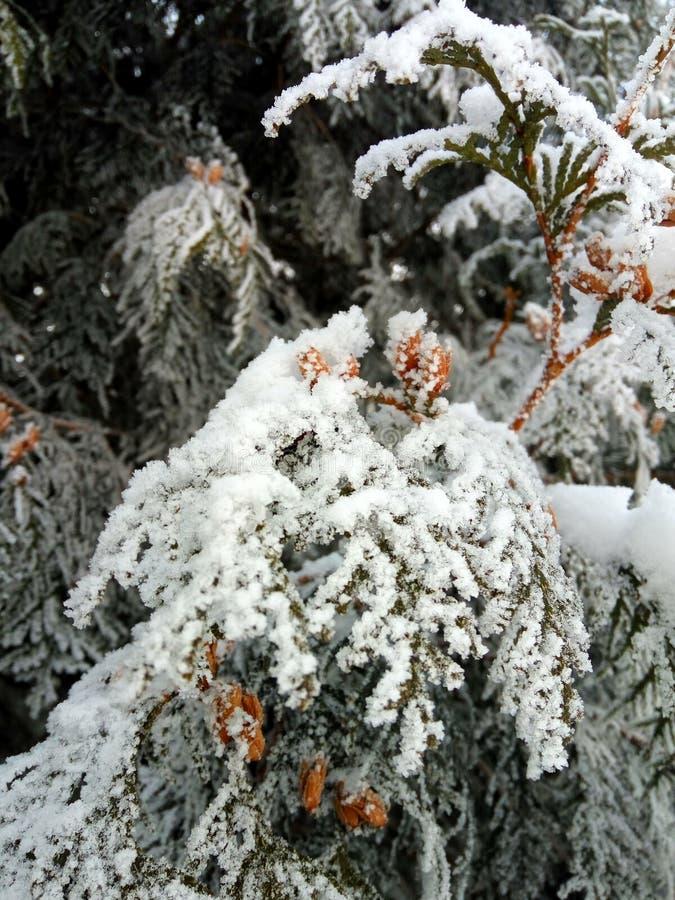 Ramificaciones del pino cubiertas con nieve fotografía de archivo