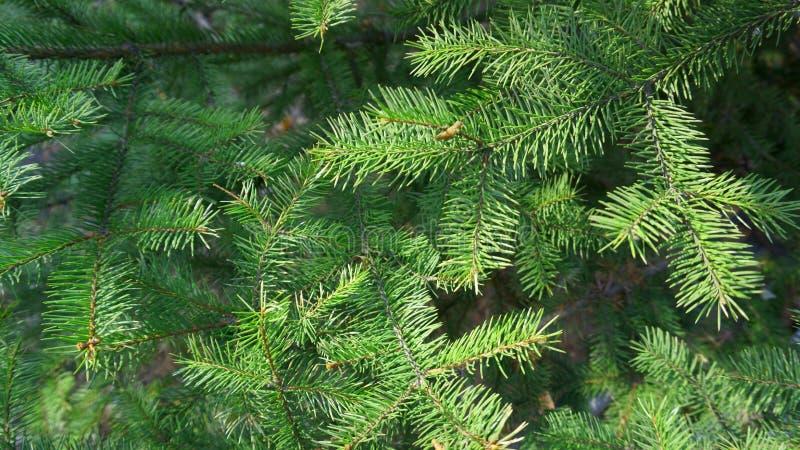 Ramificaciones Spruce Cierre del fondo de la rama de ?rbol de abeto para arriba fotografía de archivo