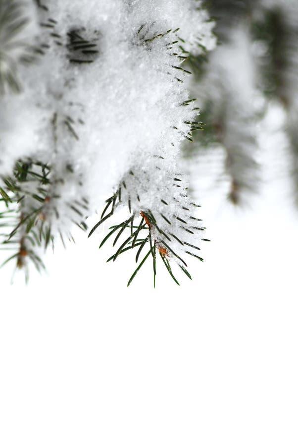 Ramificaciones spruce Nevado imagenes de archivo