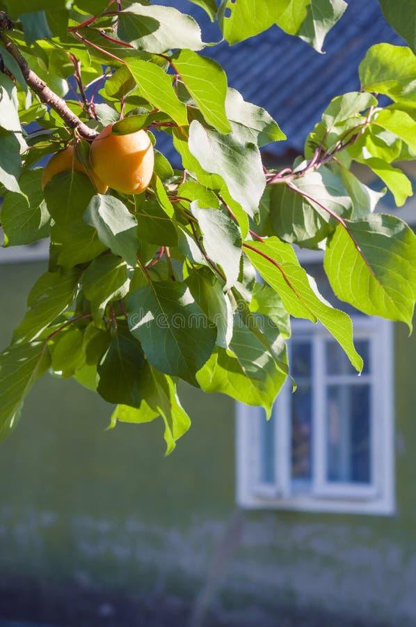 Ramificazione soleggiata dell'albicocca fotografia stock
