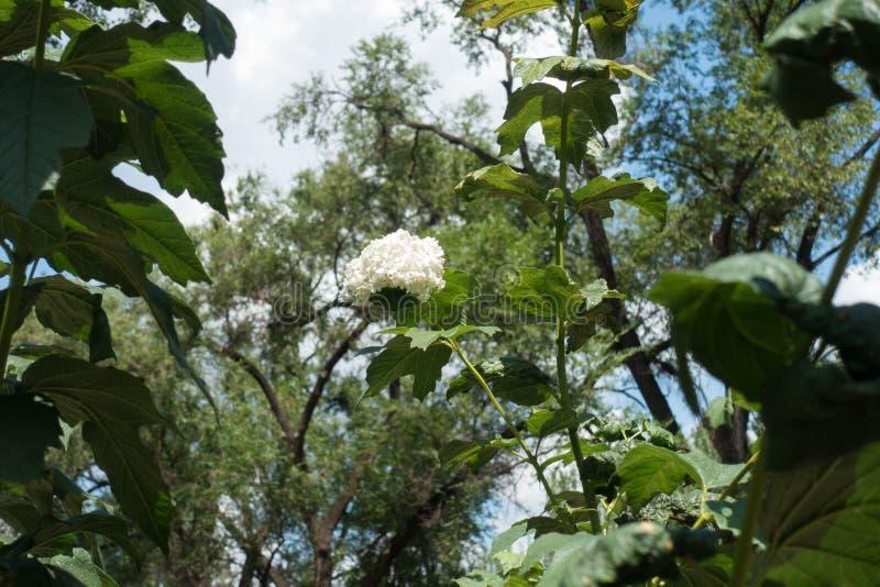 Ramifichi con corymb dei fiori del opulus di viburno fotografia stock libera da diritti