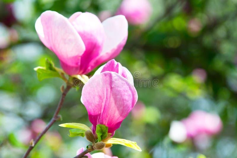 Ramifichi con i germogli di fiore rosa di fioritura della magnolia immagine stock