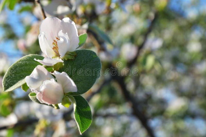 Ramifichi con il fiore e le foglie verdi fotografia stock libera da diritti