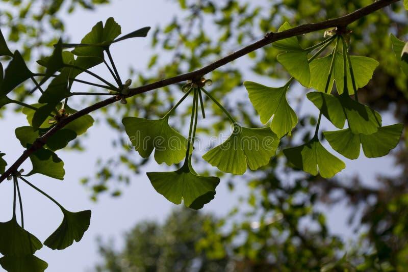 Ramifichi con il ginkgo biloba delle foglie fotografie stock libere da diritti