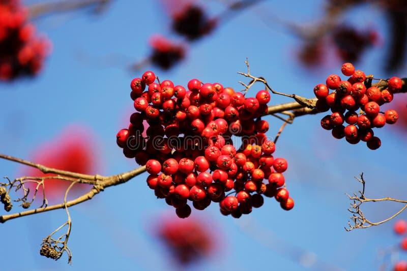 Ramifichi con la sorba rossa delle bacche su un fondo di cielo blu in autunno fotografie stock libere da diritti