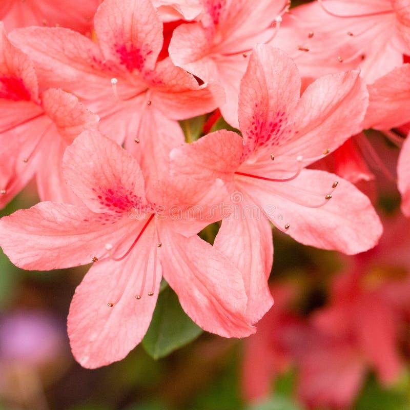 Ramifichi con le azalee fragranti dei fiori di un rosso immagine stock