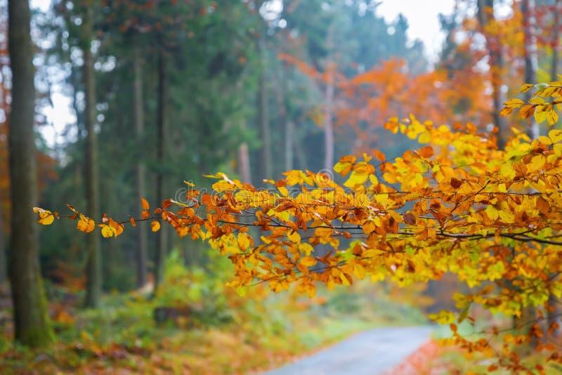 Ramifichi con le foglie del faggio colorate autunno fotografia stock