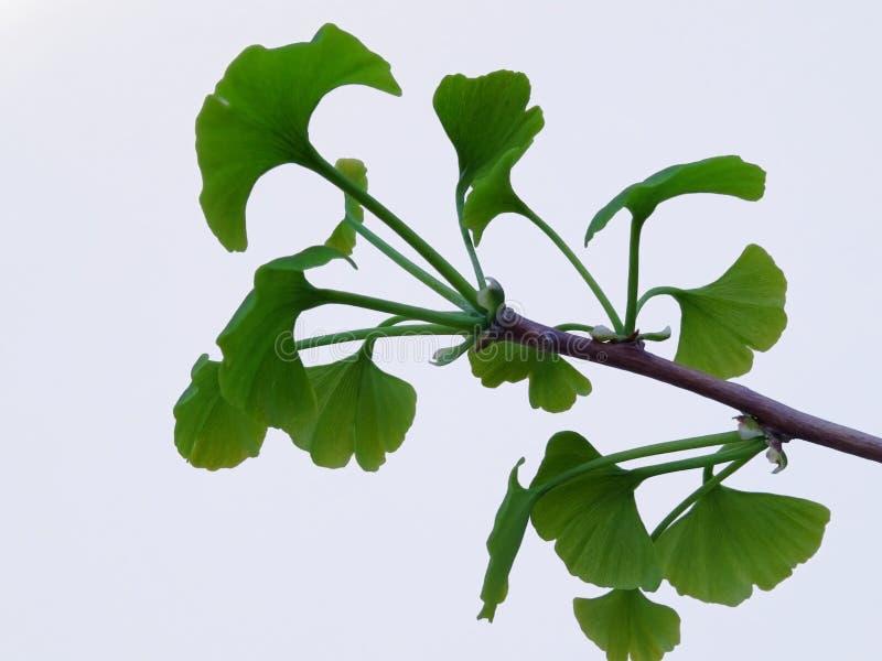 Ramifichi con le foglie del ginkgo biloba su fondo bianco illustrazione di stock