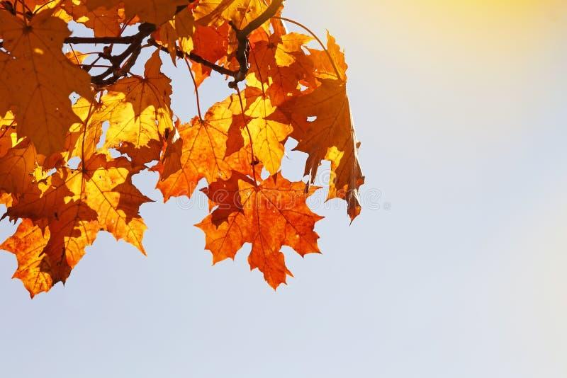 Ramifichi con le foglie di acero rosse e gialle luminose di autunno sul fondo del cielo blu immagini stock