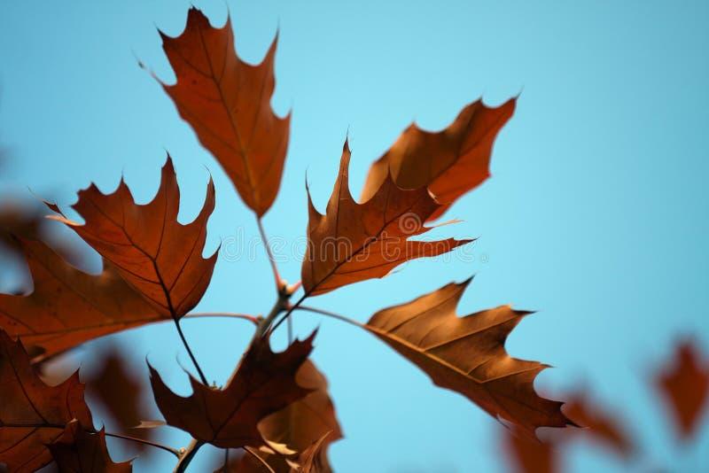 Ramifichi con le foglie di autunno della quercia fotografia stock libera da diritti