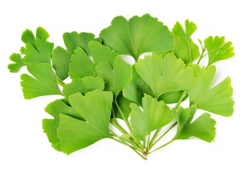 Ramifichi con le foglie verdi del ginkgo biloba fotografia stock