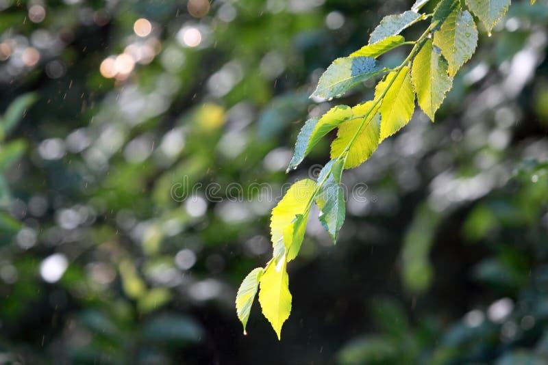 Ramifichi con le foglie verdi nella pioggia immagine stock libera da diritti