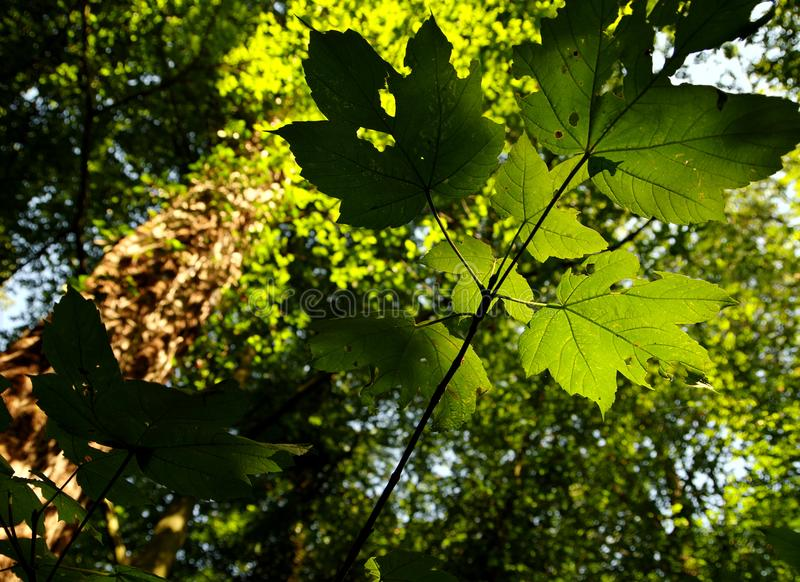 Ramifichi con le giovani foglie in lampadina fotografie stock libere da diritti