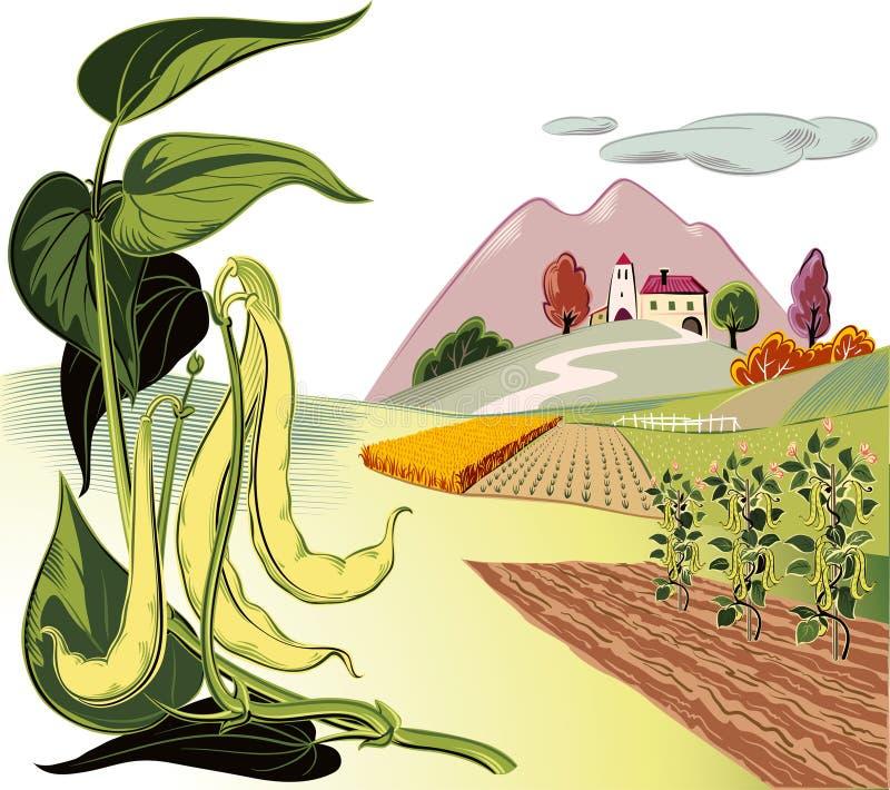 Ramifichi con parecchi baccelli dei fagiolini e del wh coltivato giallo illustrazione di stock