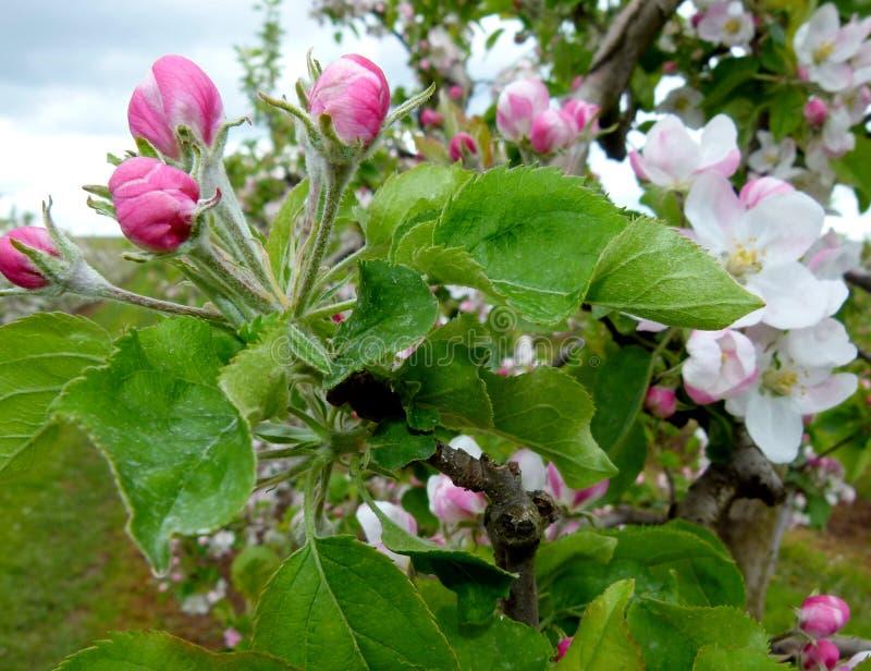 Ramifique com as flores bonitas da maçã fotografia de stock