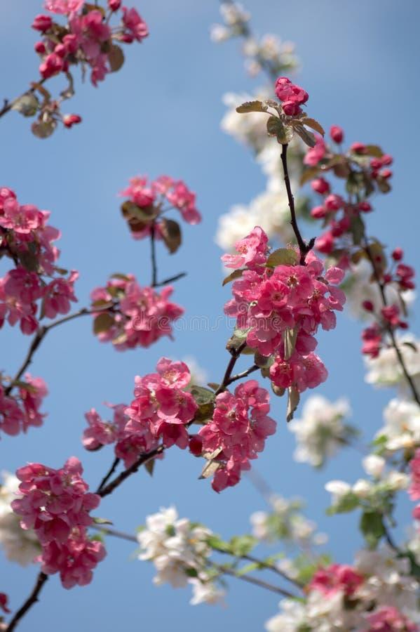 Ramifique com as flores brancas e cor-de-rosa fotografia de stock royalty free