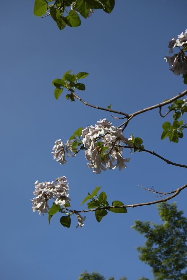 Ramifique com as flores da árvore do tomentosa do Paulownia imagem de stock