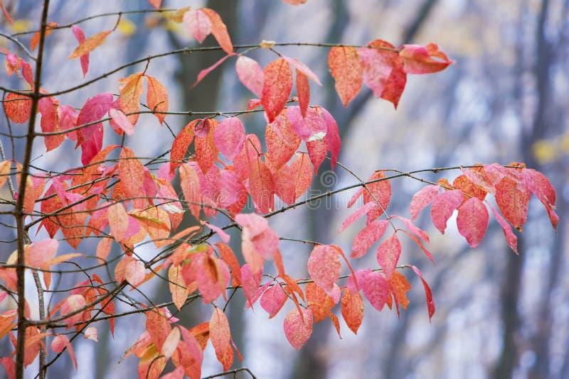 Ramifique com as folhas do vermelho e do rosa no fundo de árvores desencapadas fotos de stock