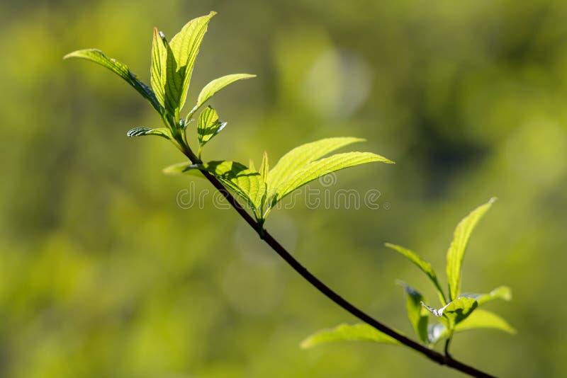 Ramifique com as folhas verdes da mola fotos de stock