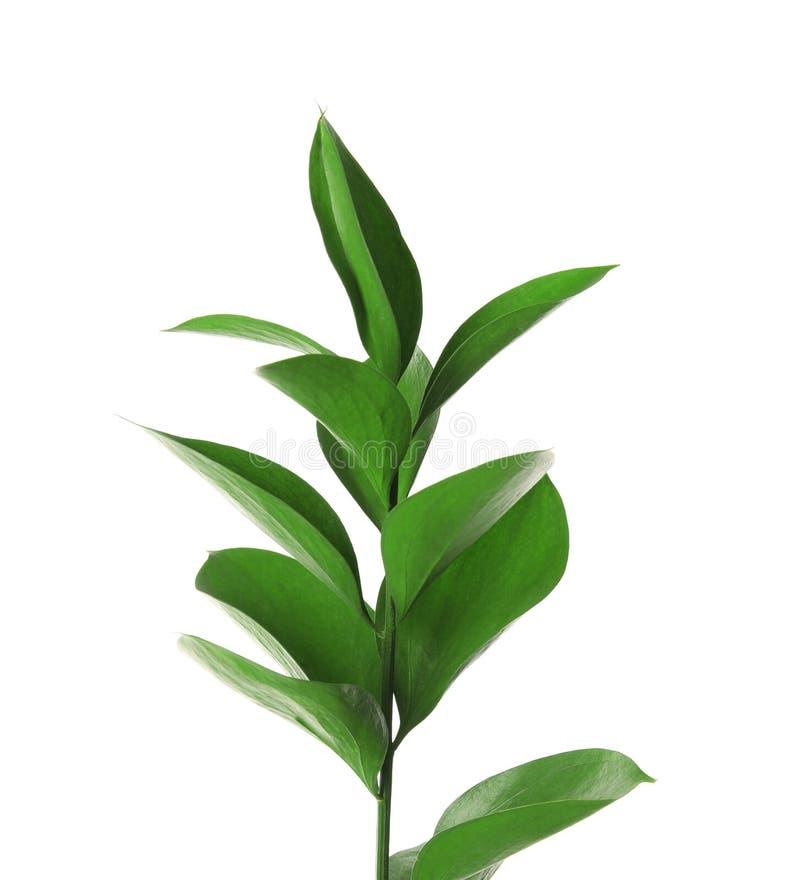 Ramifique com as folhas verdes frescas do Ruscus fotos de stock royalty free