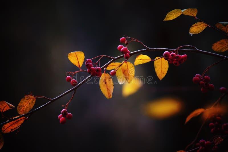 Ramifique com bagas vermelhas e amarele as folhas, backgr natural do outono fotografia de stock