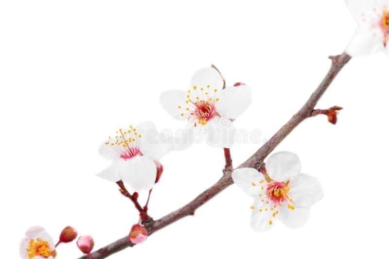 Download Ramifique com flores. foto de stock. Imagem de macro - 29833304