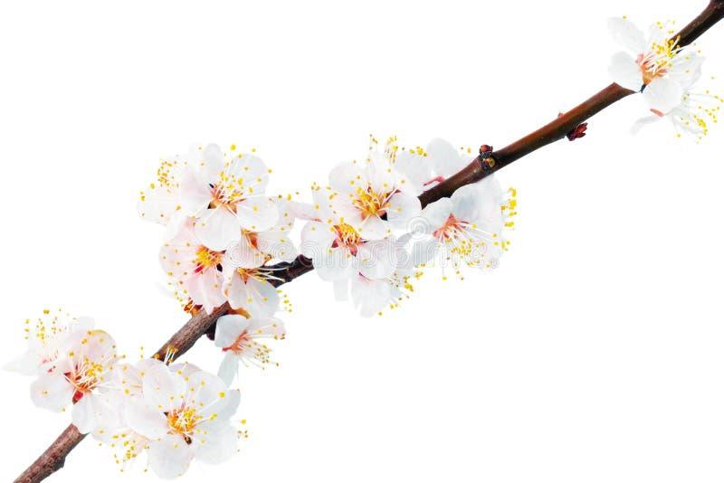 Download Ramifique com flores. imagem de stock. Imagem de pêssego - 29833327