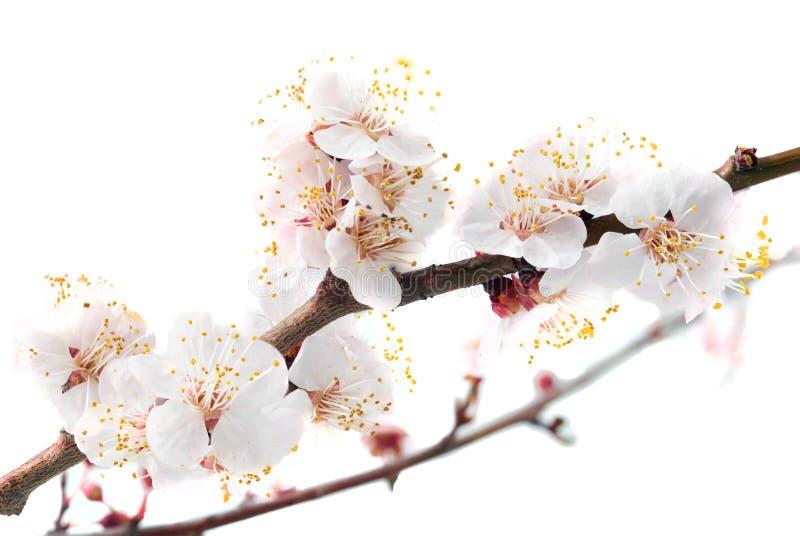 Download Ramifique com flores. foto de stock. Imagem de se, isolate - 29833476
