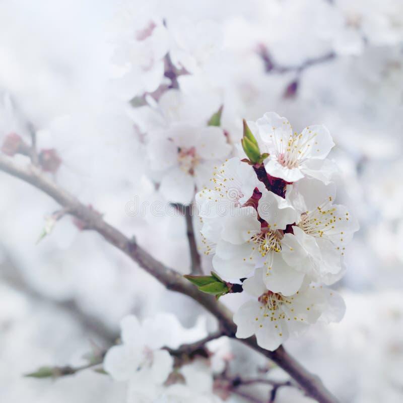 Ramifique com flores do abricó fotos de stock
