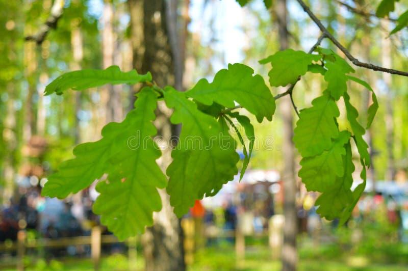 Ramifique com folhas do carvalho Foto macro fotografia de stock